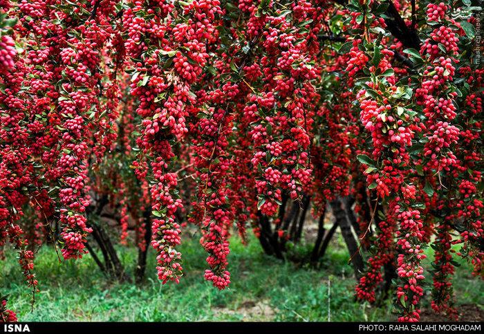 برداشت زرشک در روستای زهان خراسان جنوبی