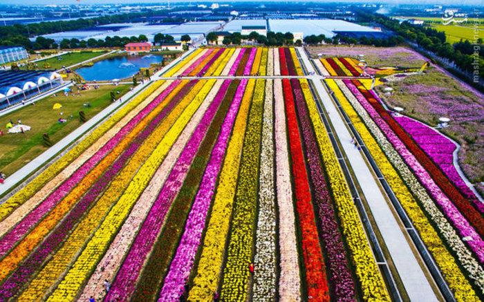 مزرعه گل های رنگارنگ حومه «شانگهای» چین