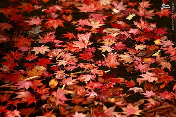 برگ های شناور درخت افرا در فصل پاییز