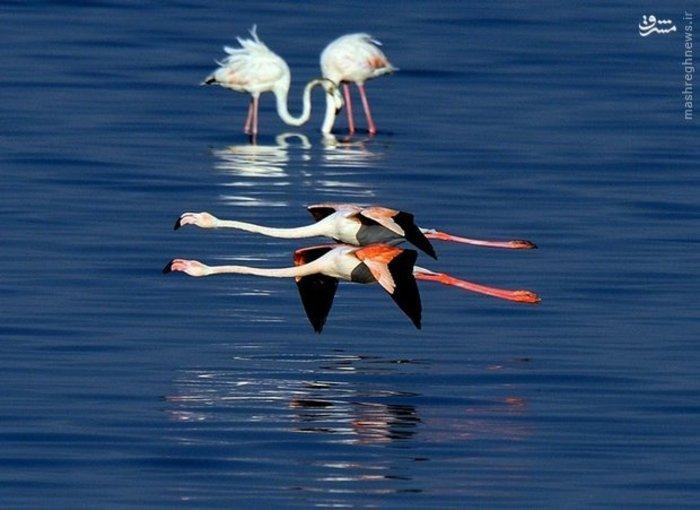 پرواز فلامینگوها در طبیعت کویت