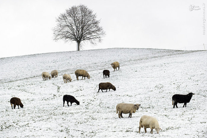 چراگاه پوشیده از برف در زوریخ سوئیس