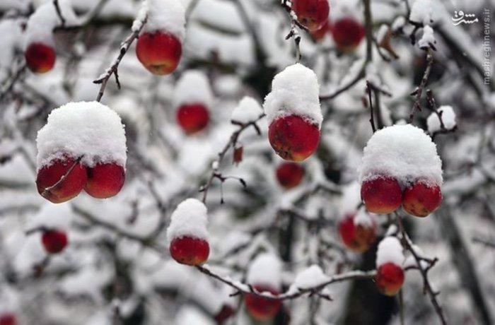 باغ سیب پوشیده شده از برف زمستانی