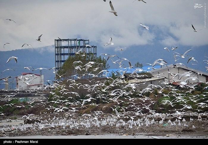 ورود پرندگان کاکایی به تنکابن
