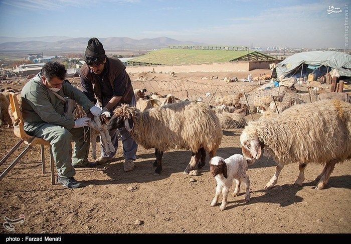 طرح واکسیناسیون احشام در کرمانشاه
