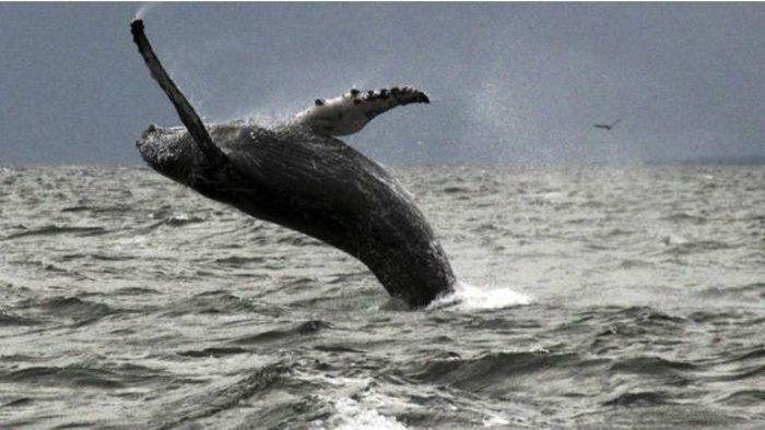 نهنگ کوهاندار با وجود سنگینی، شناگر قابلی است. دانشمندی به نام فرانک فیش متوجه شد روی لبه جلویی باله این نهنگها دندانهدندانه است، و این برآمدگیها کمک میکند سریعتر شنا کنند و آسانتر تغییر مسیر بدهند. آقای فیش این الگو را روی لبه تیغههای توربینهای بادی پیاده کرد. نتیجه این شد که وقتی جهت باد عوض میشد، توربین سریعتر حرکت میکرد و توان بیشتری تولید میکرد.