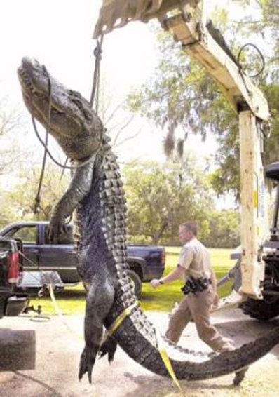بزرگترین تمساح ثبت شده در تکزاس