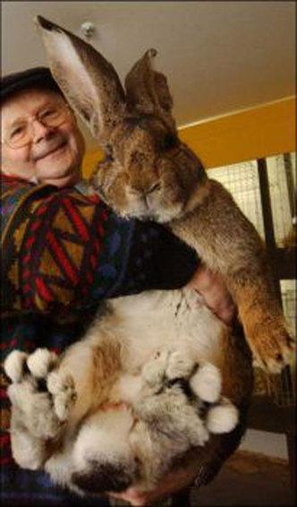 خرگوش بزرگی به اندازه یک انسان