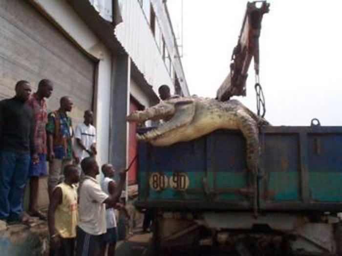 کروکودیل غول پیکر در کانگو