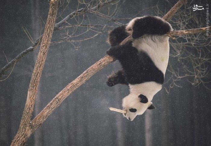 پاندا روی درخت های باغ وحشی در استان «چانگ چون» چین بازی میکند