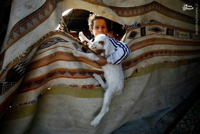 پسر عراقی با بره خود در اردوگاهی در بیابان سماوه