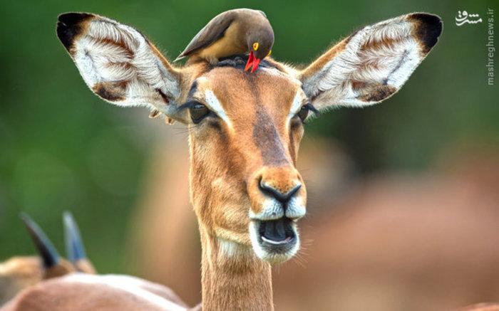 پرنده ای نشسته روی سر یک آهو در پارک ملی کروگر آفریقای جنوبی