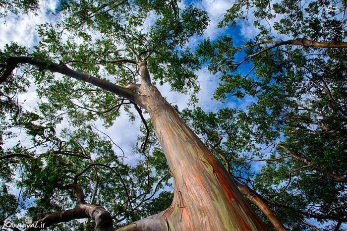 درختی بلند و عظیم با تنه ی رنگارنگ و خیره کننده، درخت آدامسی گونه ای از درختان اکالیپتوس به نام دگلوپتا ( deglupta ) است و چون رنگ تنه ی آن نارنجی، آبی و بنفش است به درخت رنگین کمان یا درخت آدامسی معروف شده است.