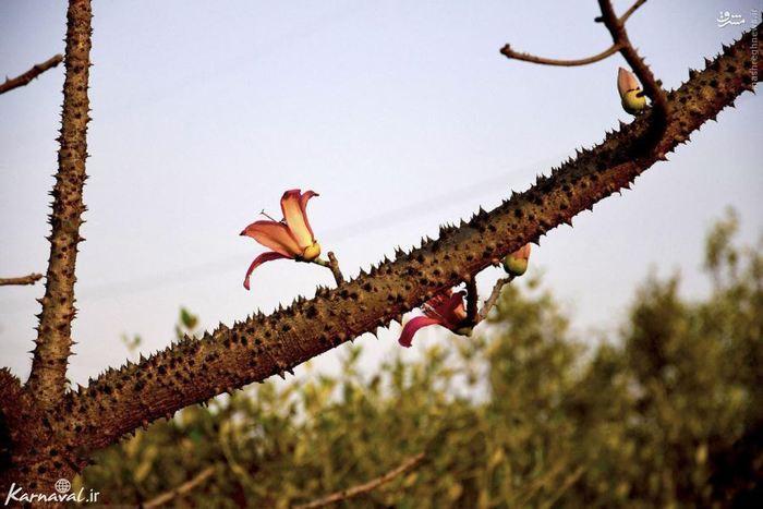 درخت نخ ابریشم درختی است بوته مانند و گل های زیبای صورتی رنگ و لطیفی دارد که به دلیل همین گل برگ های نازک و زیبایش به این نام ملقب شده است، تنه ی درخت ابریشم خار های مخروطی شکلی دارد و مثل نامش نازک و زیباست و زیاد پهن نمی شود، خارهای تنه و شاخه های آن در مواقع کم آبی و خشک سالی آب به آب رسانی درخت کمک می کنند.