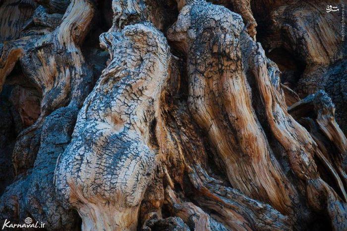 این درخت که متوسلا نام دارد در کوه های سفید شرق کالیفرنیا واقع شده است اما با این همه بازدید کنندگان زیادی را به خود جلب می کند.  سن این درخت را بین ۴۸۴۴ تا ۴۸۴۵ سال تخمین زده اند، همچنین متوسلا کهن ترین درختی است که در جهان به روش غیر کلونالی تغذیه می کند.