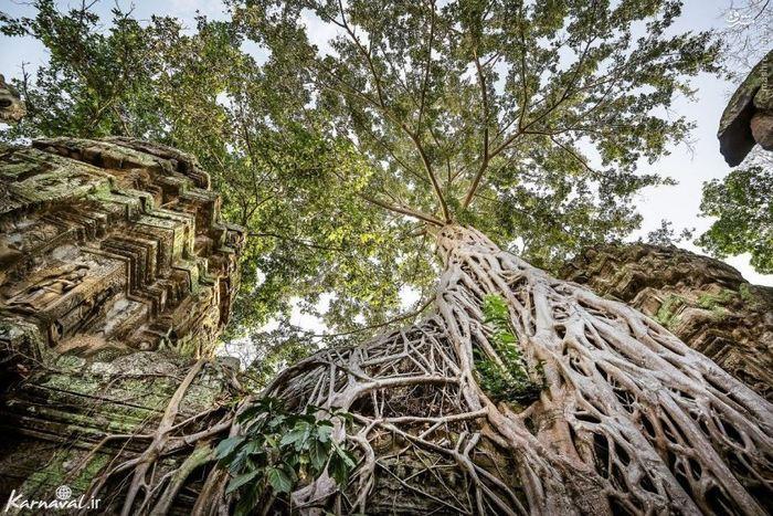 درختی که پر از رمز و راز است این درخت عجیب و کهن بر خرابه های معبد تاپروهم ( Ta Prohm ) روئییده است، خصوصیت بارز این گونه ی درخت ریشه های غول پیکرش است که سراسر حیاط معبد را پوشانده است و سالانه گردشگران بسیاری برای بازدید از این ریشه های غول آسا به معبد تاپروهم می آیند.