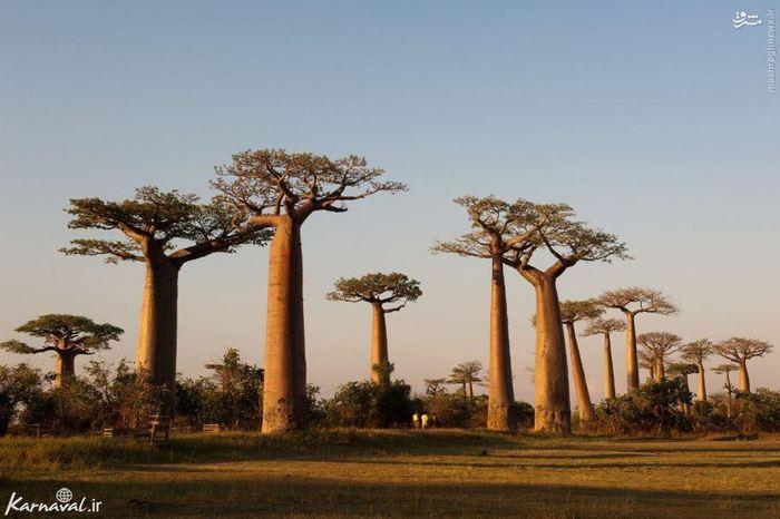 بی شک یکی از زیباترین درختان جهان درختان بائوباب هستند که نام علمیشان  آدارسورنیا ( Adansonia ) است. بائوباب ۸ گونه ی مختلف دارد که از نظر اندازه و شکل کمی باهم متفاوت هستند.