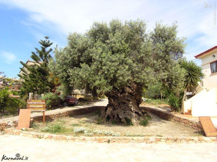این درخت زیتون که ووس ( Vouves ) نام دارد، قدیمی ترین درخت زیتون در منطقه ی مدیترانه است که چیزی بین ۳۰۰۰ تا ۴۰۰۰ سال عمر دارد، حتی می گویند این درخت زیتون قدیمی ترین درخت زیتون جهان است و عمر دقیقش را ۳۵۰۰ تخمین زده اند.