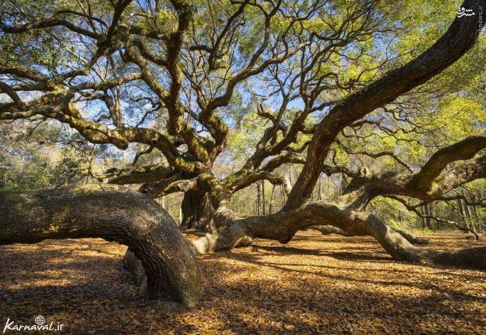 دیگر نوبت به آشنایی با قدیمی ترین موجود زنده در شرق رودخانه ی می سی سی پی رسیده است، درخت فرشته ی بلوط!  ارتفاع این درخت زیبا ۲۰ متر است و ۷٫۷ متر هم پهنای تنه ی درخت می باشد، شاخه هایش در آسمان و زمین همه جا روئیده اند و سایه ای بسیار گسترده تشکیل داده اند، محیط سایه ی این درخت به چیزی حدود ۲۷ متر در ۳٫۵ متر می رسد.