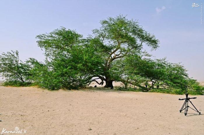 درخت زندگی به تنهایی در بالاترین نقطه ی کوه ( barren ) در منطقه ی بسیار گرم بحرین سال هاست که زندگی می کند، جایی کاملا بی آب و علف.