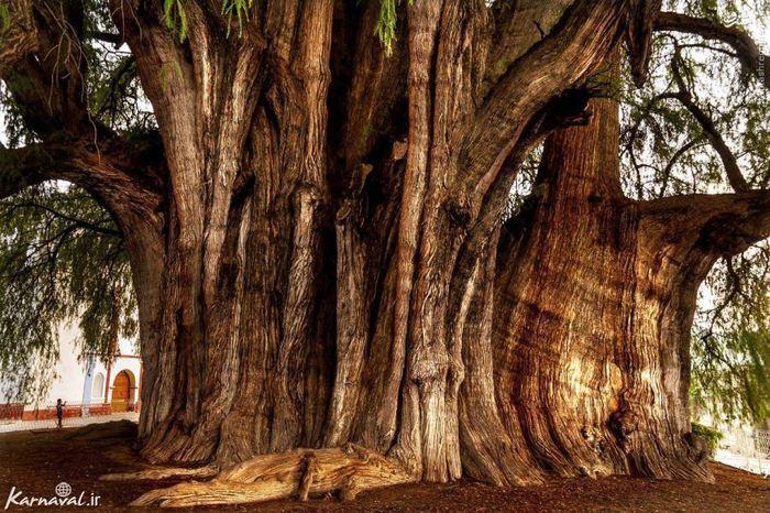 در سال ۲۰۰۱ این درخت کهن در لیست یونسکو، سایت میراث فرهنگی، به عنوان پهن ترین درخت دنیا ثبت شد. پهنای تنه ی این درخت ۸٫۹۸ متر است و هنوز هم کمی از درختی که بعد از آن در لیست یونسکو ثبت شد پهن تر است.