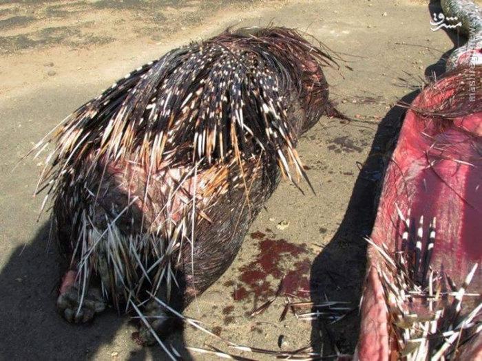 مار پیتون با خوردن جوجه تیغی خودکشی کرد+عکس