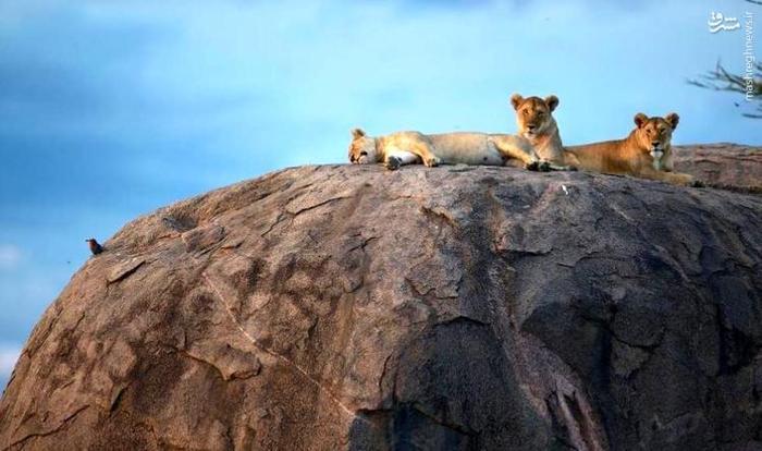 عکس شیر,شیر حیوان,شیر ماده,شیر نر,عکس شکار شیر,عکس جنگ شیر,عکس جنگ شیر,خشم شیر,سلطان جنگل