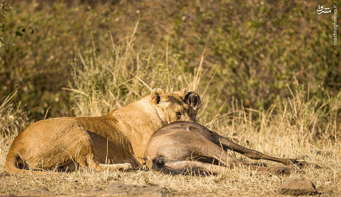Lion struggle with deer٬ تصاویر: ضربه فنی شدن گوزن توسط شیر٬ شکار کردن شیر٬ ضربه فنی شدن گوزن٬ کشتی شیر با شکارش٬ کشتی شیر با گوزن