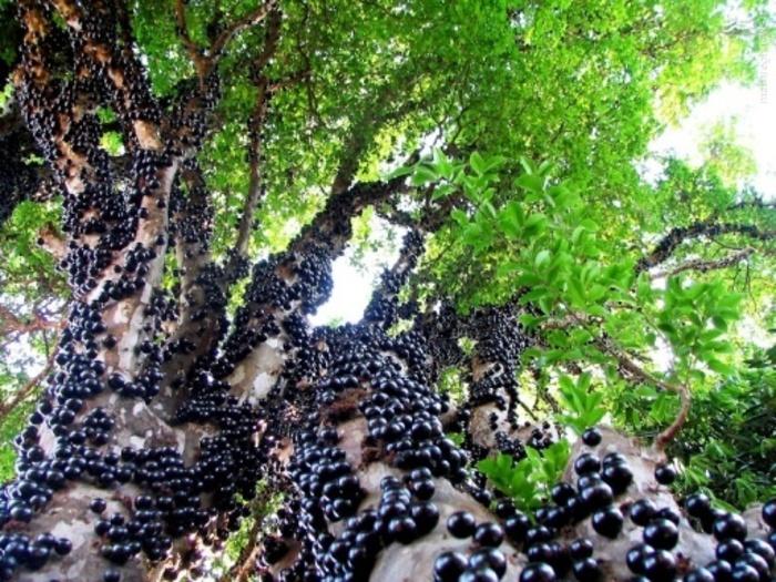 میوه دادن تنه یک دختر, درخت جابوتی کابا یا انگور برزیلی,درخت انگور برزیلی,درختان عجیب و غریب