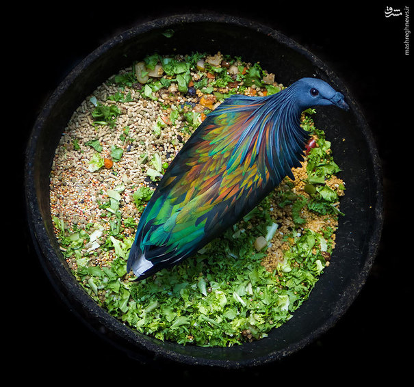 عکس پرنده نیکوبار,عکس پرنده رنگارنگ,پرنده رنگین کمانی,پرنده رنگی