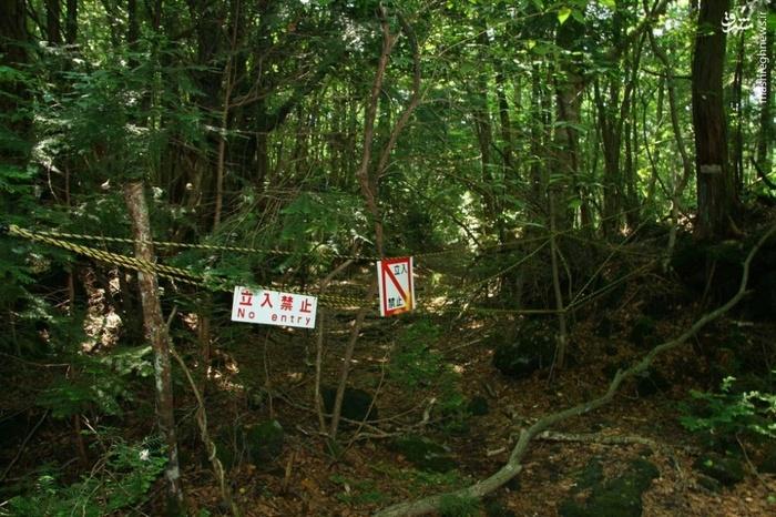جنگل درختان خاموش در ژاپن